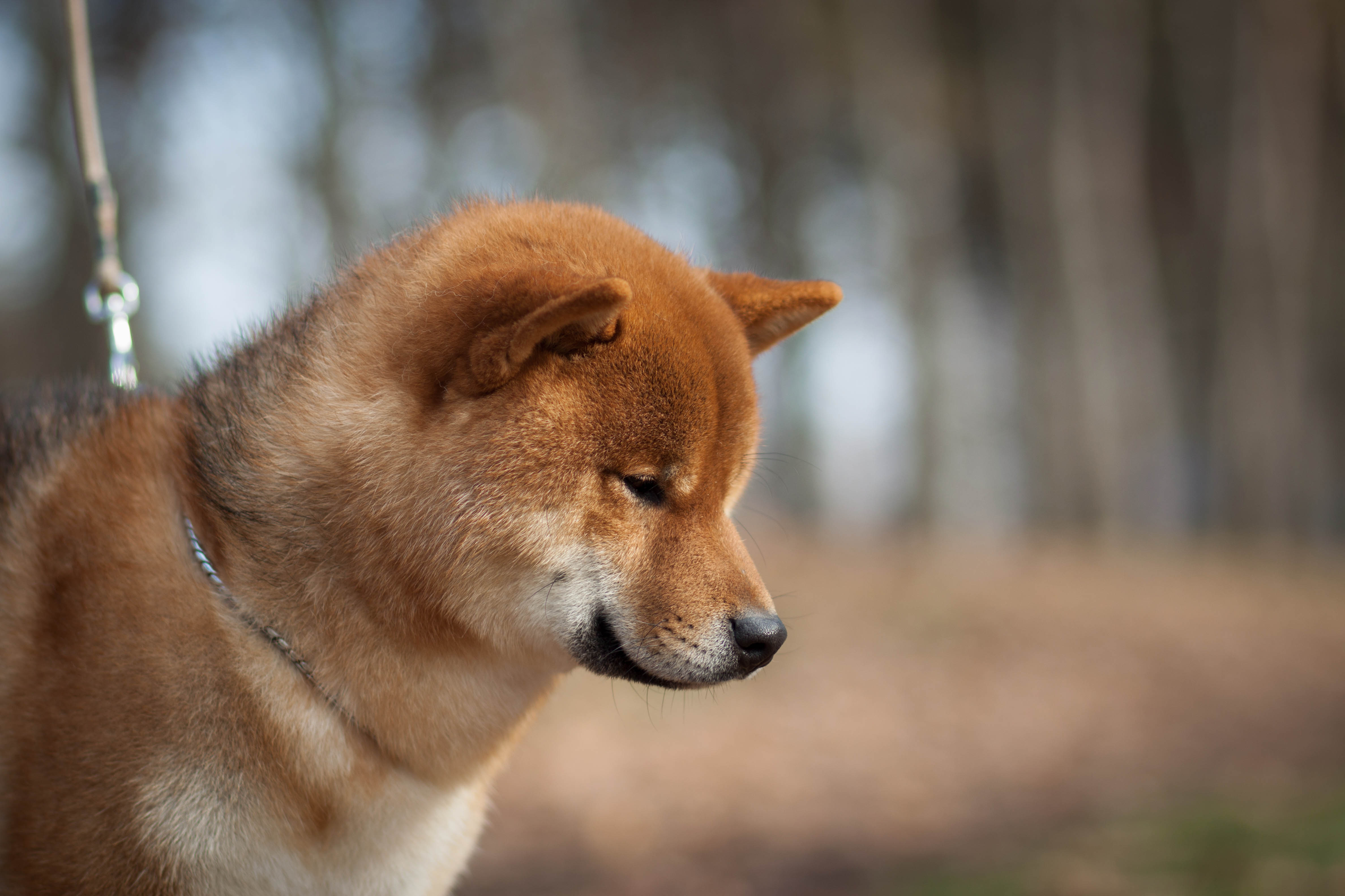 Shiba Inu History Guardian Of The Emperor Kennel